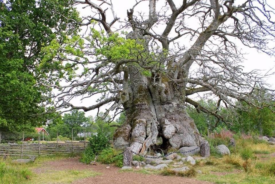 Le plus vieil arbre de Suède est si grand que vous pouvez vous marcher dans son ouverture au centre